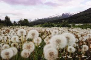 dandelion-puffs-alaska3